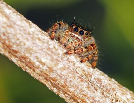 Phidippus on a Branch by Blaklisted