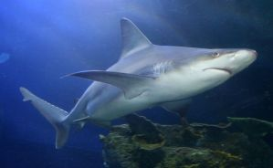 Denver Aquarium Shark 60 by Falln-Stock