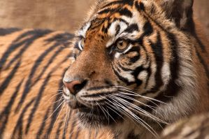 Sumatran Tiger 7634 by robbobert