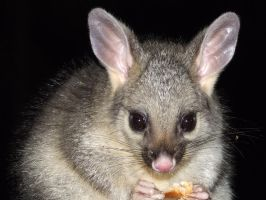 Baby Possum_01 by SpectreOfShades