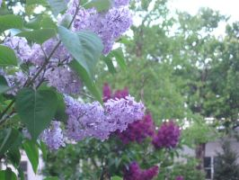 morning lilacs by crazygardener