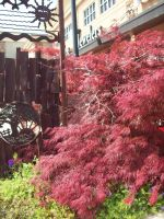 Japanese Maple by DemonGirl2010