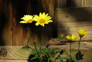 .fall daisies. by Foozma73