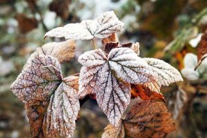 currant leaves in snow by Luba-Lubov-13