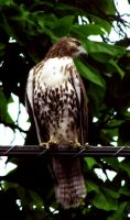 red tail hawk by equusstock