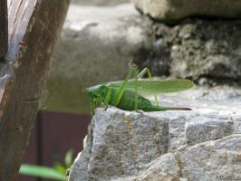 My friend the katydid by Momotte2