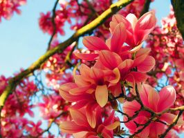 Magnolia Beauty by Michies-Photographyy