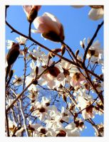 blossoms II by superladysarah
