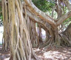Banyan Roots 2 by Polly-Stock