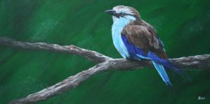 Racket-tailed roller by odontocete