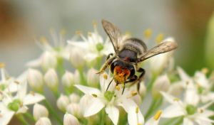 Megachile bee on garlic chives. by wolftraz