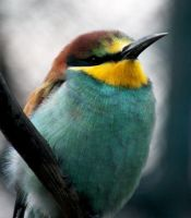 Merops apiaster by xSchattenkindx