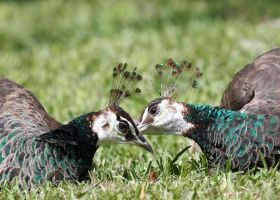Peahen Kiss by Jack-13