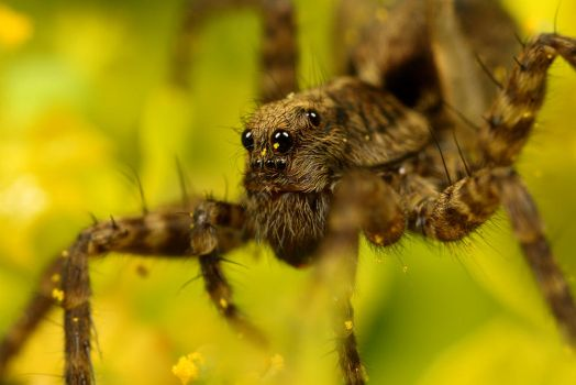 Wolf Spider Portrait by Alliec