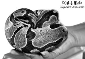 Baby Python by Cat-n-White