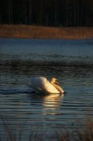 Cruising swan by perost