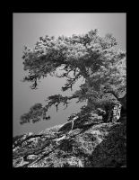 An aged pine by eswendel