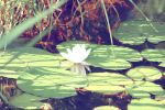 Water lily by GothicNai