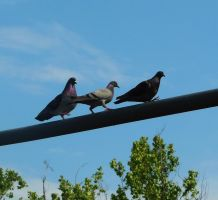 Pigeons by AlissaDStock