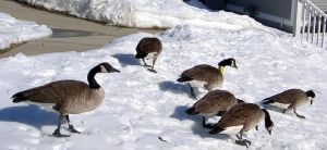 Goosescape 02 27 15 by Wilcox660
