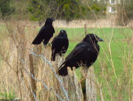 Three carrion crow :) by ThomasHumbertRaven