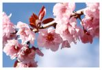 Cherry Blossoms by facehead