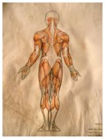 Anatomy Study Old works by SILENTJUSTICE