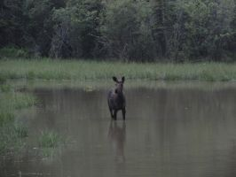 Moose by FallingWithoutStyle