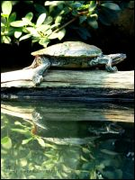 Turtle Reflections II by Tienna
