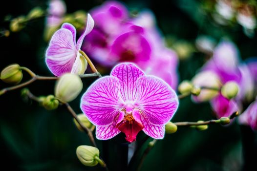 The Orchids kiss by calimer00