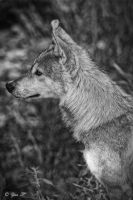 canis lupus pallipes 3 by Yair-Leibovich