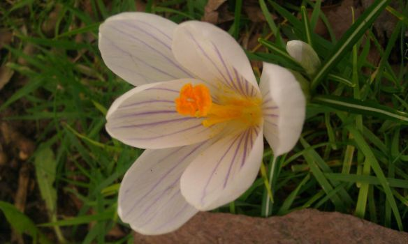white and purple crocus by ashblackphoenix