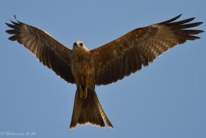 Black Kite II by mhmalali