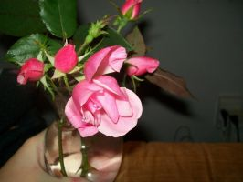 Pink Roses 003 by DominosAreFalling