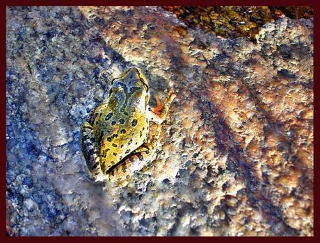 rocky mountain frog by zasu