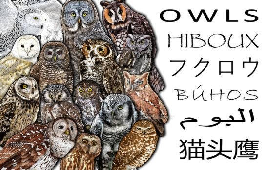 Owl Collage by rogerdhall