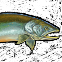 Salvelinus by sister-in-arms
