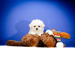 Maltese puppies for adoption in Ohio by affordablepups