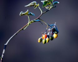 Natures Frosted Berries by AngelaLeonetti