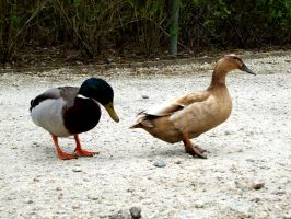 Duck Stock 01 by Aimi-Stock