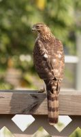Juvenile Coopers Hawk by chalutplease
