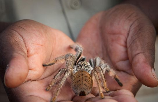 Baboon Spider by Lightkast