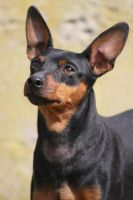 Rex the miniature pinscher by BlastOButter