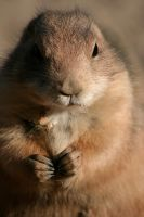 Prairie dog by Alutzza