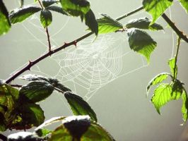 The Web by Lyco-sidae
