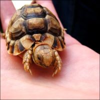 Baby Egyptian Tortoise 2 by eeron