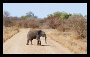 South Africa Baby Elephant by Heckenshutze