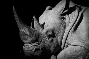 White Rhino by Arkus83
