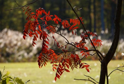 Red Leaves  32 by wally626