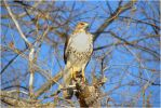 Juvenile Redtail III by SuicideBySafetyPin